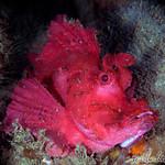 Brick Red Weedy Scorpionfish (Rhinopias frondosa)