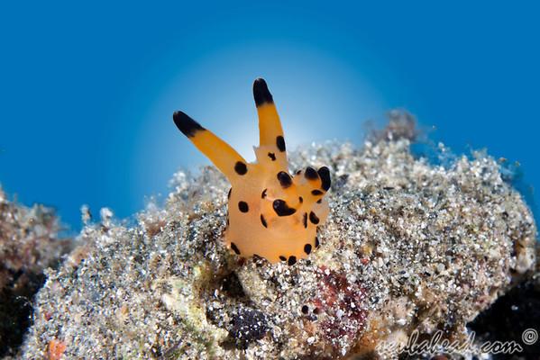 Thecacera Nudibranch