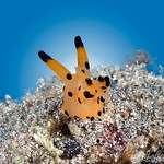 Thecacera Nudibranch