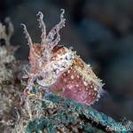 Dwarf Cuttlefish (Sepia bandensis)