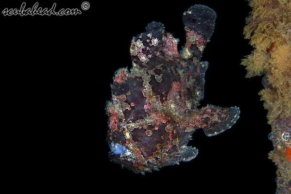 Crimson Painted Frogfish