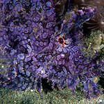 Purple Weedy Scorpionfish  (Rhinopias frondosa)
