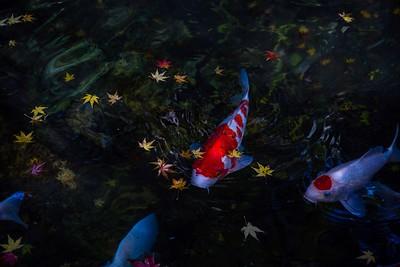 鯉ともみじの秋の舞