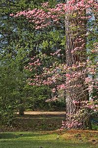 Dogwood and Pine