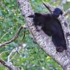 Black Bear Cub - Minnesota