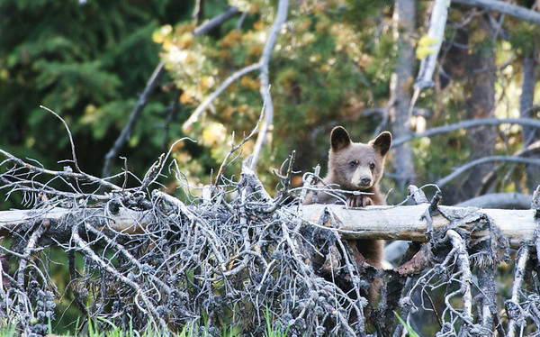 Grizzly Bear Cub - Grand Teton National Park, WY