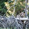 Grizzly Bear Cub - Grand Teton National Park, WY