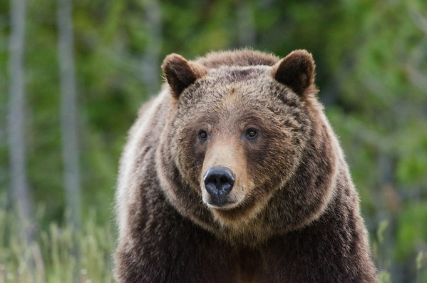 Grizzly Bear-Grand Teton National Park, WY