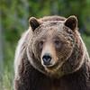 Grizzly Bear-Grand Teton National Park, WY