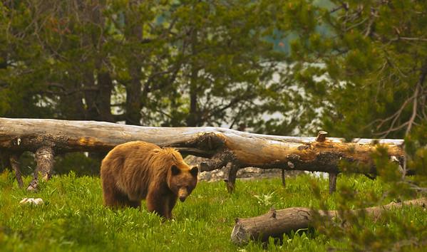 Black Bear (Brown coat) - Grand Teton National Park, WY