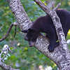 Black Bear Cub - Orr, Minnesota