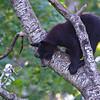 Black Bear Cub - Orr, Minnesota