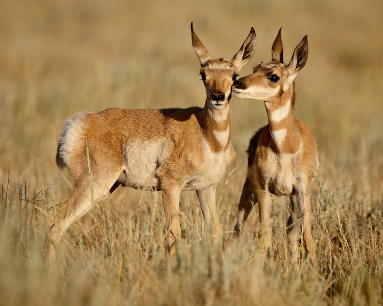 """""""Pronghorn Twins""""<br /> <br /> Two pronghorn calves (Antilocapra americana) nuzzle on the prairie near Jeffrey City, Wyoming, USA.<br /> <br /> This image is sized for printing ideally at 8 x 10"""" or smaller."""