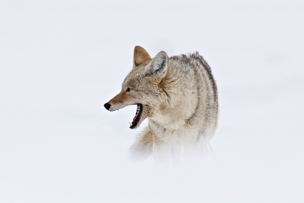 """Winter Coyote""<br /> <br /> A coyote (Canis latrans) yawns as it endures a particularly cold winter day. Taken in Yellowstone National Park, Wyoming."