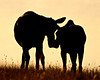 """The Bond""<br /> <br /> We set out before sunrise on this morning, intending to photograph scenics. But then I spotted this moose cow and calf. Quick, change up the camera setup to get these two silhouetted just after sunrise.<br /> <br /> Taken in the Many Glacier area of Glacier National Park in Montana, USA."