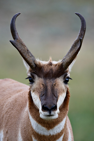 """Eyelashes""<br /> <br /> <br /> Any woman would love to have those eyelashes. This is a male pronghorn (Antilocapra americana), taken in Custer State Park, South Dakota, USA."
