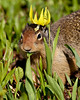 """""""Queen of the Mountain""""<br /> <br /> <br /> A Columbian ground squirrel (Urocitellus columbianus) atop Logan Pass, in Glacier National Park, Montana, USA. It was eating the glacier lilies (Erythronium grandiflorum) that were growing right next to a melting snowbank."""