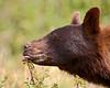 """Berry-Pickin' Time""<br /> <br /> A black bear (Ursus americanus) feasts on Saskatoon berries in Waterton Lakes National Park, Alberta, Canada."