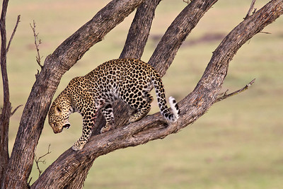 """The Descent""  This leopard (Panthera pardus) took its prey up in the tree, then descended after feeding. Taken in the Upper Mara region of the Masai Mara, Kenya, Africa."