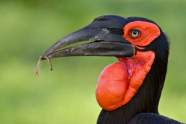 """""""Ground Hornbill With Prize""""<br /> <br /> It was hilarious to watch this ground hornbill (Bucorvus leadbeateri) in Kruger National Park, South Africa. Shuffling along with his prize centipede, he would repeatedly find new prey, drop the centipede, and eat the new item. Then he would pick up the centipede once again and continue his quest.<br /> <br /> This image was named a Top 100 image in the NANPA Showcase 2009. It also appeared in the NANPA Expressions magazine and is featured on the NANPA website."""
