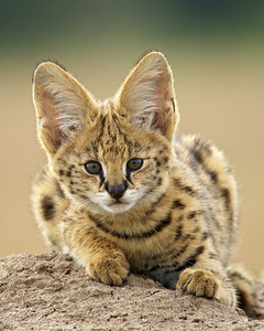 """Serval Kitten""  This is a young serval (Felis serval) atop a termite mound. Taken in the Masai Mara region of Kenya, Africa."