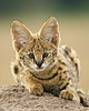 """Serval Kitten""<br /> <br /> This is a young serval (Felis serval) atop a termite mound. Taken in the Masai Mara region of Kenya, Africa."