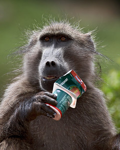 """Naughty Baboon""  We were about to walk out to the Main Caves area of Giant's Castle in the Drakensburg region of South Africa. I spotted this chacma baboon (Papio ursinus) right next to the parking area, rooting through a trash can. He then unveiled a prized cup of yogurt."