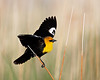"""Yellow-headed Blackbird""<br /> <br /> A yellow-headed blackbird (Xanthocephalus xanthocephalus) male displays for its mate. I rather liked bird's pose and the soft look to the background reeds in this photo.<br /> <br /> Taken at Bear River Migratory Bird Refuge, Utah."