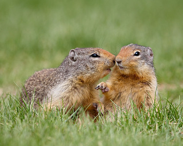 """Kissee, Kissee""  I had so much fun photographing the Columbian ground squirrels in Manning Provincial Park in British Columbia, Canada. There was a lot of interaction going on between them."
