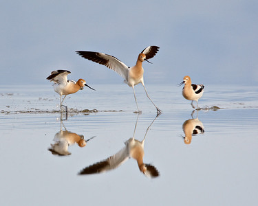 """Avocet Altercation""  During breeding season, the American avocets were having territorial disagreements. They were on the Great Salt Lake, in Antelope Island State Park in Utah. I thought the reflections and beautiful water of the lake were such a work of art in nature.  Two of the avocets were just about to mate. Two more flew in and caused a real ruckus. Here are three of the four (the fourth was quite a ways off to the left and I decided to crop it out)."