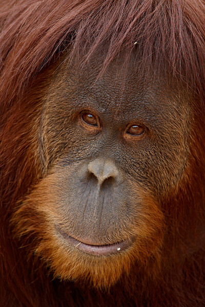 """Orangutan Smile""<br /> <br /> Portrait of a Bornean orangutan (Pongo pygmaeus) female. Taken at the Rio Grande Zoo in Albuquerque, New Mexico. The zoo is accredited by the AZA (American Zoo Association).<br /> <br /> We had nice, diffuse light in Albuquerque on this day. It was perfect for some primate portraits. This lady orang was my favorite subject at zoo."