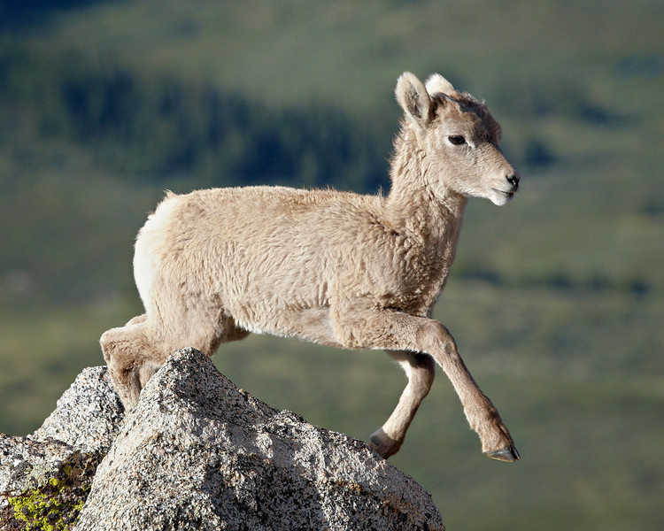 """Into Thin Air"" <br /> <br /> A bighorn sheep (Ovis canadensis) lamb jumps into the air in the Mt. Evans Wilderness Area of Colorado."