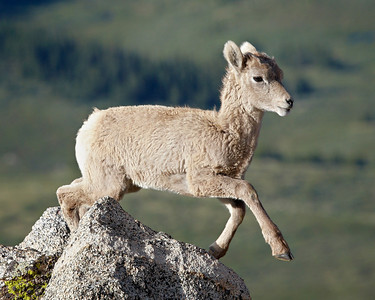 """Into Thin Air""   A bighorn sheep (Ovis canadensis) lamb jumps into the air in the Mt. Evans Wilderness Area of Colorado."
