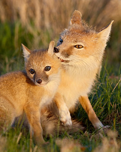 """Motherly Nibble""  A swift fox (Vulpes velox) vixen nibbles on her young kit's ear during grooming. Taken in the Pawnee National Grassland of Colorado."