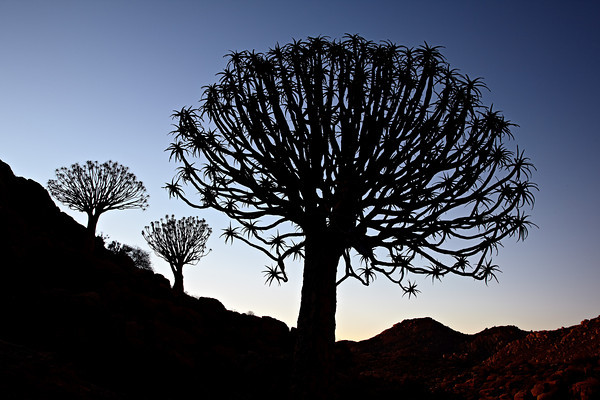 """Quiver Trees at Twilight""<br /> <br /> Several quiver trees or kokerbooms (Aloe dichotoma) after sunset. Taken at Orbicule Kop, near Springbok, South Africa, Africa."