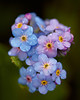 """""""Forget-Me-Not Bouquet""""<br /> <br /> A cluster of alpine forget-me-not (Eritrichium nanum) wildflowers. It had rained the previous night. Taken in Yellowstone National Park, Wyoming, USA."""
