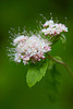 """Bridal Arrangement""<br /> <br /> This flower just looked like a bride should be carrying it down the aisle. Subalpine spiraea (Spiraea splendens), a wildflower. Taken near Solomon Lake, Kaniksu National Forest, Idaho, USA."