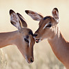 """Love Bite II""<br /> <br /> Two impala (Aepyceros melampus) groom. They took turns licking and biting each other. Taken in Kruger National Park, South Africa, Africa."