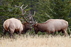 """""""Eye-Poker""""<br /> <br /> Two bull elk (Cervus canadensis) spar, with one of them nearly poking the other's eye with a point of its antler. Taken in Jasper National Park, Alberta, Canada."""