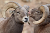 """""""After the Bash""""<br /> <br /> Two bighorn sheep (Ovis canadensis) rams (males) pause after they had just bashed heads. They looked dazed and confused, and as you can see, the one on the right got a bloody nose out of the battle. The bighorn sheep is the state mammal of Colorado. Taken in Clear Creek County, Colorado, USA."""