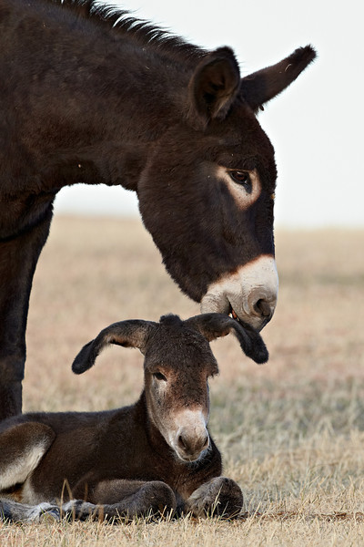 """""""The Touch""""<br /> <br /> A wild burro (Equus africanus asinus) jenny and foal. This may look like a maternal moment. In actuality the jenny was just about to tug sharply on the little one's ear to get it to stand up after a lengthy rest. Taken in Custer State Park, South Dakota, USA."""