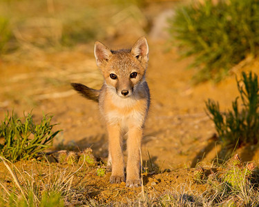 """The Eyes of a Pup""  A swift fox (Vulpes velox) kit looks intently at me with its young eyes. Taken in the Pawnee National Grassland, Colorado, USA."