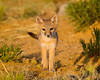 """""""The Eyes of a Pup""""<br /> <br /> A swift fox (Vulpes velox) kit looks intently at me with its young eyes. Taken in the Pawnee National Grassland, Colorado, USA."""