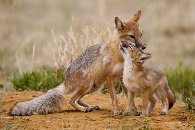 """Adoration""  This morning was the best ever with the swift foxes. It was filled with interaction, lovely light, and a relaxed family. Here, a swift fox kit (Vulpes velox) nuzzles up against its mother, in an interaction that can only be described as adoring. Taken in the Pawnee National Grassland, Weld County, Colorado, USA."
