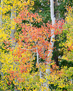 """Aspen On Aspen""  I always like the deeper-hued aspen (Populus tremuloides), especially when mixed in with the more common yellows and greens. Taken in the Uncompahgre National Forest, Colorado, USA."
