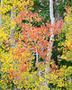 """""""Aspen On Aspen""""<br /> <br /> I always like the deeper-hued aspen (Populus tremuloides), especially when mixed in with the more common yellows and greens. Taken in the Uncompahgre National Forest, Colorado, USA."""
