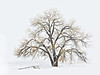 """""""The Fog Comes Softly II""""<br /> <br /> While on a humanitarian mission in my RV, I came across a cottonwood tree (Populus deltoides) in a lovely fog after a snow. It was transitioning from fall to winter dress. I wanted to give her a Photoshop treatment, so I used Photoshop's oil paint filter, several adjustment layers to bring out the yellows, whites, and dark bark, then painted out some of the surroundings, and sharpened quite heavily. Taken on the plains of Lincoln County, Colorado, USA."""