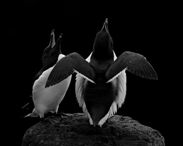 """The Elegance of Birds""  A razorbill (Alca torda) pair interacting during courtship. This was one of my 20 favorite photos of 2013. Taken at the cliffs at Látrabjarg, Westfjords, Iceland. See more of my favorites of 2013 here: http://imagesofthewild.smugmug.com/BestOf/Best-of-2013/50560719_d4N33H#!i=2861774373&k=BjnDbtQ"