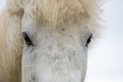 """Icelandic Eyes""  An Icelandic horse (Equus ferus caballus), also known as an Icelandic pony. Taken on the Vatnsnes Peninsula, North Iceland."
