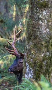 """Hidden in the Rainforest""  A Roosevelt elk (Cervus elaphus roosevelti) bull. Taken in the Hoh Rain Forest, Olympic National Park, Washington, USA."